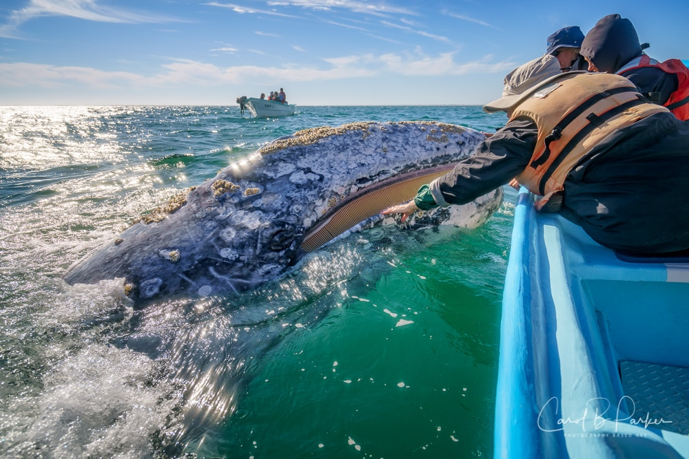 The Friendlies: Baja's Gray Whales